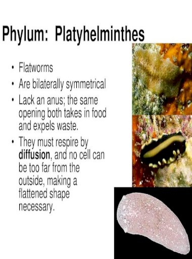 Phylum platyhelminthes tegument